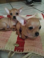 Foto 4 Süße Chihuahua Welpen zu verkaufen