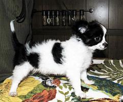 Foto 3 Süße Chihuahua Welpen  Rüden mit Papieren