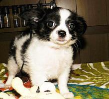 Foto 4 Süße Chihuahua Welpen  Rüden mit Papieren