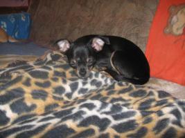 Foto 3 Süsse Chihuahuawelpen KH u.LH Merle  mit Stammbaum