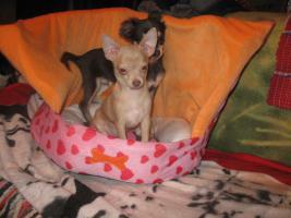 Foto 6 Süsse Chihuahuawelpen KH u.LH Merle  mit Stammbaum