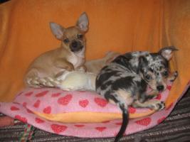 Foto 7 Süsse Chihuahuawelpen KH u.LH Merle  mit Stammbaum