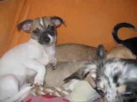 Foto 10 Süsse Chihuahuawelpen KH u.LH Merle  mit Stammbaum