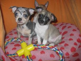 Foto 11 Süsse Chihuahuawelpen KH u.LH Merle  mit Stammbaum