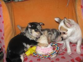 Foto 12 Süsse Chihuahuawelpen KH u.LH Merle  mit Stammbaum