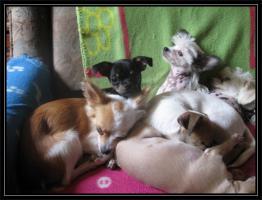 Foto 13 Süsse Chihuahuawelpen KH u.LH Merle  mit Stammbaum