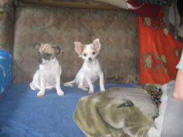 Foto 14 Süsse Chihuahuawelpen KH u.LH Merle  mit Stammbaum