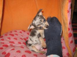 Foto 16 Süsse Chihuahuawelpen KH u.LH Merle  mit Stammbaum