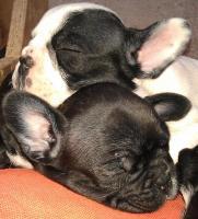 Foto 2 Süße Französische Bulldoggen Welpen - Blauträger-