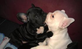 Foto 3 Süße Französische Bulldoggen Welpen - Blauträger-