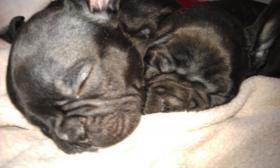 Foto 4 Süße Französische Bulldoggen Welpen - Blauträger-