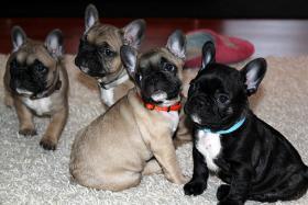 Foto 6 Süße Französische Bulldoggen Welpen - Blauträger-