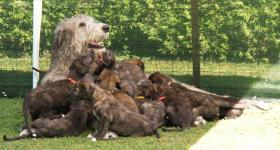 Süße Irish Wolfhound Welpen mit papieren