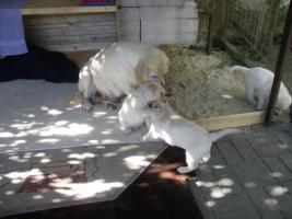Foto 3 Süsse Labrador Welpen