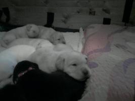 Foto 2 Süsse Labradorwelpen