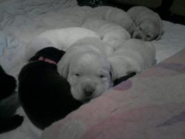 Foto 3 Süsse Labradorwelpen