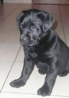 Süße Labradorwelpen suchen ein schönes Zuhause