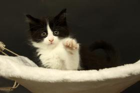 Foto 3 Süße Maine Coon Kitten