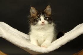 Foto 4 Süße Maine Coon Kitten