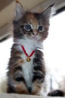 Süße Maine Coon Kitten abzugeben