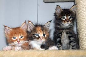 Foto 2 Süße Maine Coon Kitten abzugeben