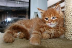 Foto 3 Süße Maine Coon Kitten abzugeben