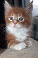 Foto 4 Süße Maine Coon Kitten abzugeben