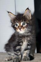 Foto 5 Süße Maine Coon Kitten abzugeben