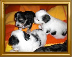 Foto 3 Süße Malteser Bimal Welpen