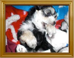 Foto 5 Süße Malteser Bimal Welpen