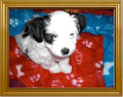 Foto 6 Süße Malteser Bimal Welpen
