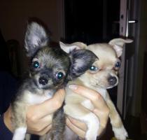Süße Mini-Chihuahua-Welpen
