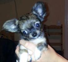 Foto 2 Süße Mini-Chihuahua-Welpen