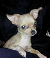Foto 3 Süße Mini-Chihuahua-Welpen