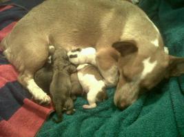 Foto 4 Süsse Mischlingswelpen 12 Wochen alt