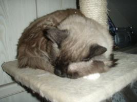 Foto 6 Süße Perser/Ragdoll Kitten ab ENDE FEBRUAR!!!