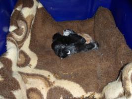 Foto 9 Süße Perser/Ragdoll Kitten ab ENDE FEBRUAR!!!