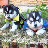 Kostenlose Kleinanzeigen Verkaufen Und Kaufen Deutschland Hunde Germany Bayern Pomsky Welpen Zum Verschenken