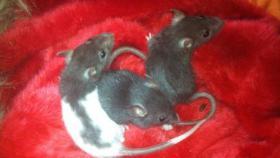 Süße Ratten Babys suchen neues Zuhause