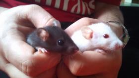 Foto 2 Süße Ratten Babys suchen neues Zuhause