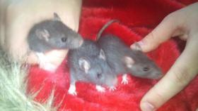 Foto 3 Süße Ratten Babys suchen neues Zuhause