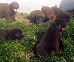 Süsse Schoko Labradorwelpen