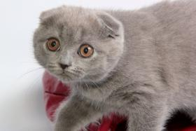 Foto 5 Süße Scottish Fold und Britisch Kurzhaar(BKH) Kitten!