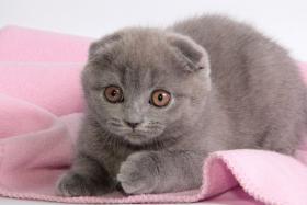 Foto 10 Süße Scottish Fold und Britisch Kurzhaar(BKH) Kitten!