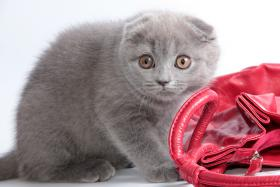 Foto 11 Süße Scottish Fold und Britisch Kurzhaar(BKH) Kitten!