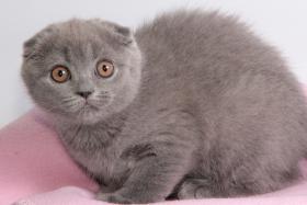Foto 12 Süße Scottish Fold und Britisch Kurzhaar(BKH) Kitten!