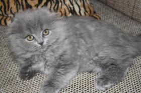 Süße Scottish Fold Kitten