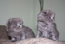 Foto 2 Süße Scottish Fold Kitten