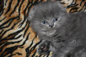 Foto 3 Süße Scottish Fold Kitten