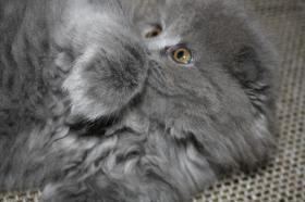 Foto 4 Süße Scottish Fold Kitten